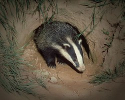 Badgers saved by ground penetrating radar geophysics